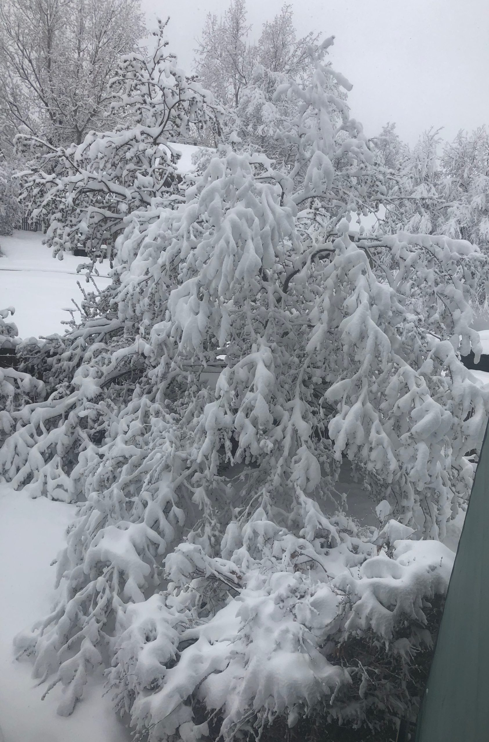 Trees weighed down with many inches of snow.
